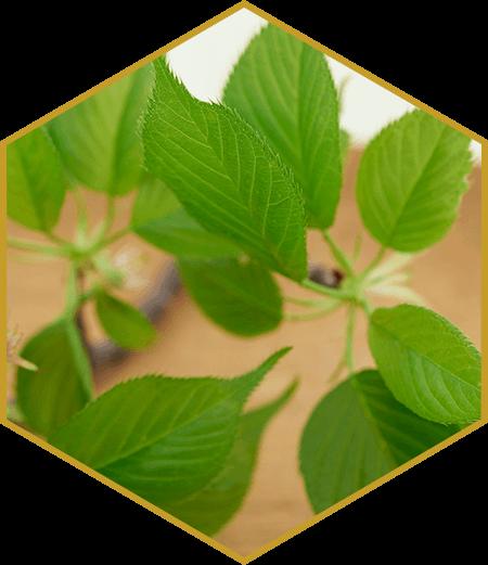 Roku Gin - Sakura-Blätter